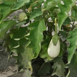 albergínia blanca a la brasa