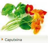 Caputxina